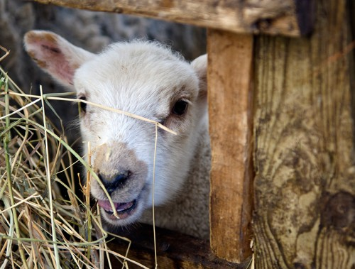 nyman_goat
