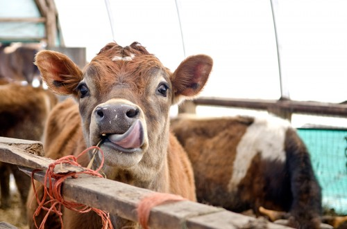 nyman_cow