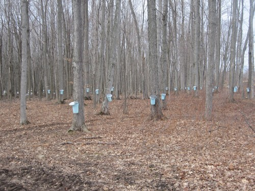 sugarbush_trees